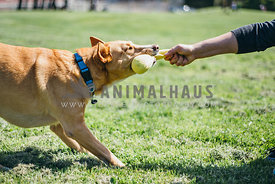 A large dog playing tug with owner