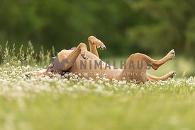 A dog rolling in the grass on a summer day