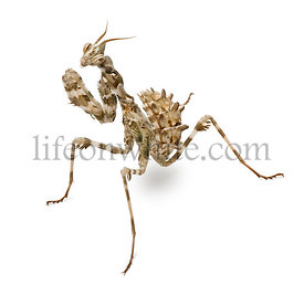 Female Blepharopsis mendica, Devil's Flower Mantis, in front of white background
