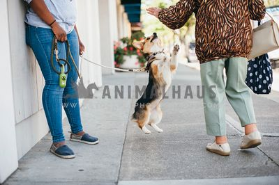 Corgi jumps to greet person walking by on the sidewalk