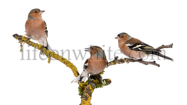 Three Common Chaffinch on a branch, Fringilla coelebs