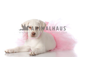 Cream Laborador Puppy wearing pink tutu and pink flower collar laying on white looking straight