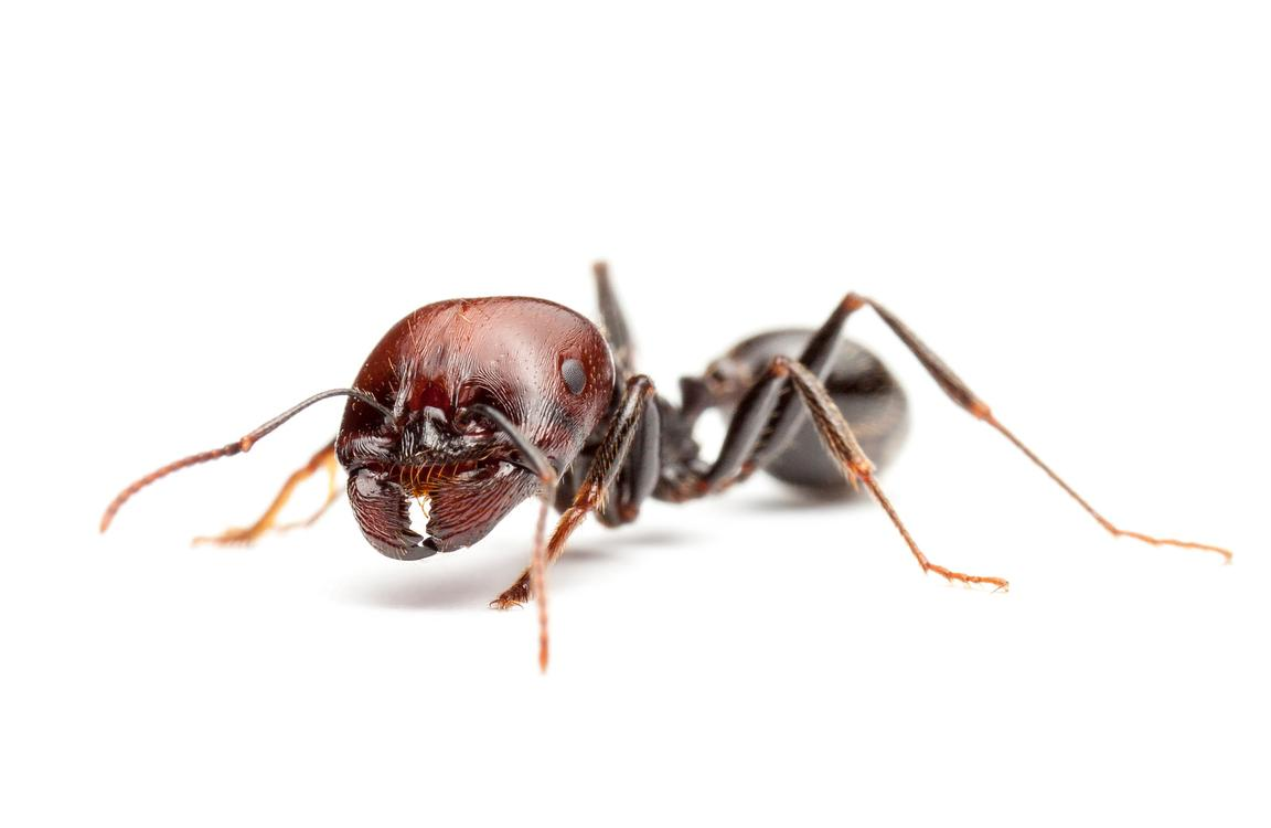 Harvester ant major worker