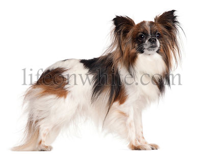 Papillon, 3 years old, standing in front of white background
