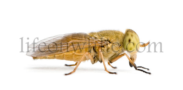 Horse-fly, Atylotus rusticus, against white background