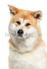 Close-up of a Akita Inu, 3 years old, isolated on white
