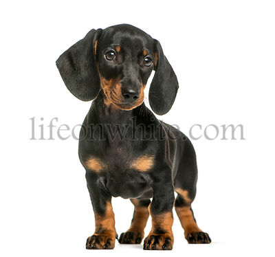Dachshund, 2 months old, in front of white background