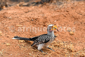Red-billed Hornbill, Pilanesberg Reserve