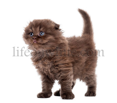 Highland fold kitten standing, looking upwards, isolated on white