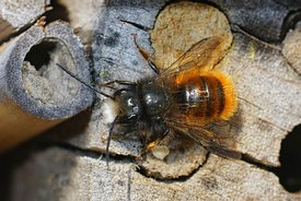 Closeup of the male of the horned orchard mason bee, Osmia cornuta on the bee-hotel in the garden