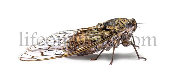 Grey Cicada, isolated on white