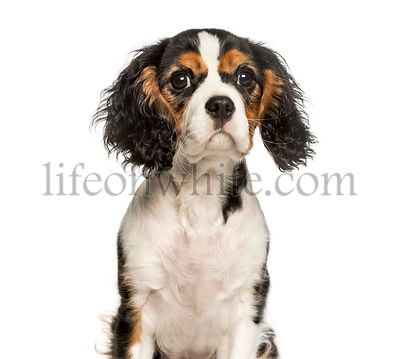 Young Cavalier King Charles dog sitting against white background