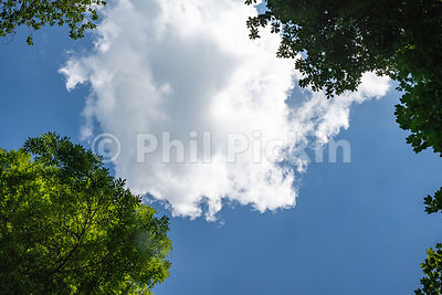 Looking straight up through the trees at a white passing cloud in a blue sky in the UK