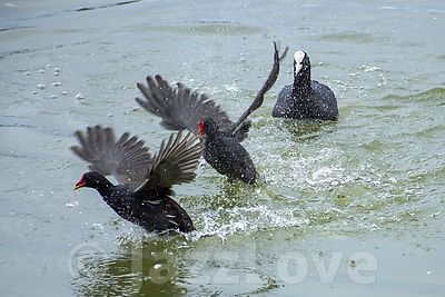 Moorhens territorial fight.