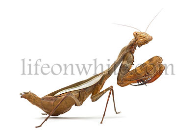 Praying mantis - Parasphendale sp Giant - isolated on white