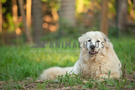 great pyrenees laying in grass
