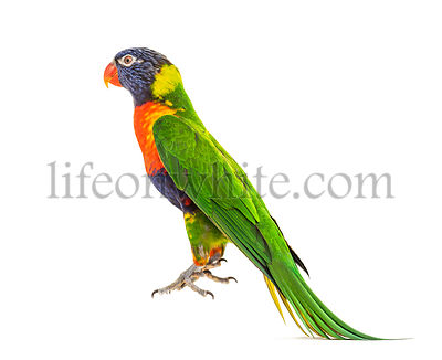 Rainbow Lorikeet jumping, Trichoglossus moluccanus, isolated