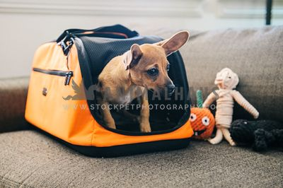A dog coming out of an orange dog carrier with halloween toys nearby