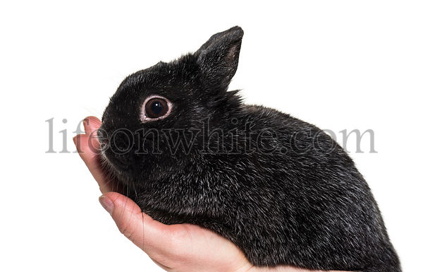 Dwarf rabbit held in hand against white background