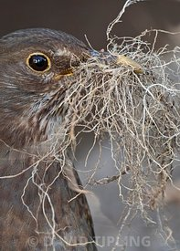Blackbird, Turdus merula, female collecting nest material in garden Norfolk spring