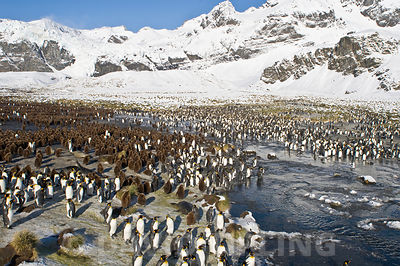 King Penguin Aptenodytes patagonicus colony  Golf Harbour South Georgia November