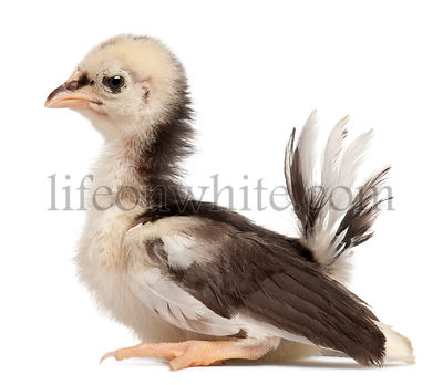 Serama, Malay Ayam Serama, a bantam breed of chicken, 3 weeks old, in front of white background