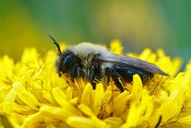 Closeup of a female grey-backed mining bee, Andrena vaga on a yellow flower of a dandelion, Taraxacum officinale