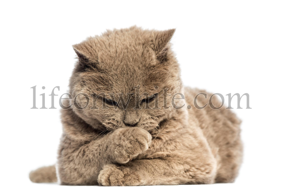 Selkirk Rex lying and looking at its paw against white background