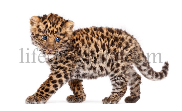 Amur leopard cub, Panthera pardus orientalis, 9 weeks old, walking against white background