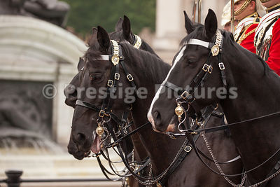 Closeup of Horses Ridden by members of The Life Guards
