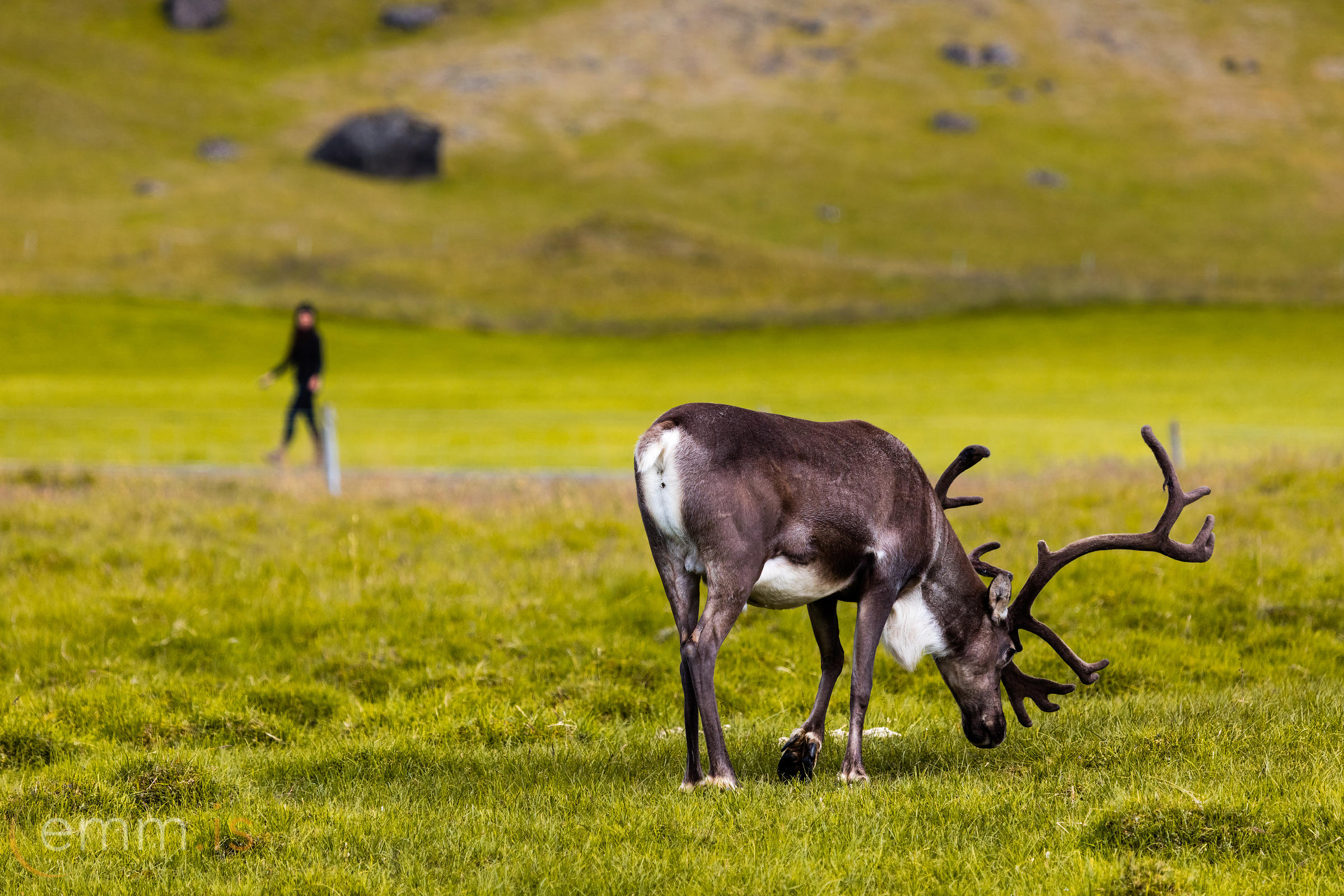 Reindeer_in_south_east_Iceland_emm.is