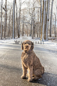 A doodle sitting on a winter path