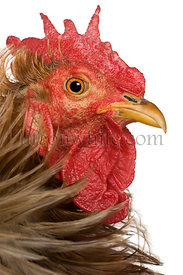 Close-up headshot of Curly feathered rooster Pekin, 1 years old