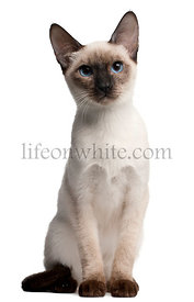 Thai kitten, 5 months old, sitting in front of white background