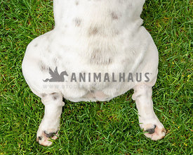 The bottom half of a bulldog laying full out in the grass
