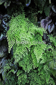 Maidenhair Fern (Adiantum sp), The Cloud Mountain, Cloud Forest, Gardens By The Bay, Singapore, Southeast Asia