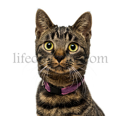 Close-up of an American Polydactyl wearing a collar, 5 months old, isolated on white
