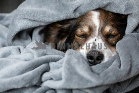 A shepherd dog sleeping in a blanket