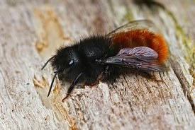 Closeup of a fresh female of the horned orchard mason bee , Osmia cornuta in the garden