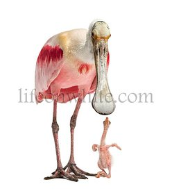 Roseate spoonbill looking down at her chick, isolated on white