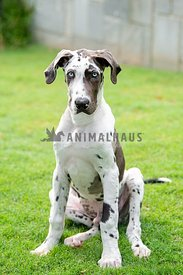 male great dane puppy sitting in grass