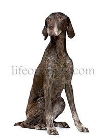 German Shorthaired Pointer (11 years)