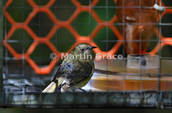 A glum-looking Bellbird (Anthornis melanura) looking as though it is in a trap, but it is just in a sugar feeder that it has ...