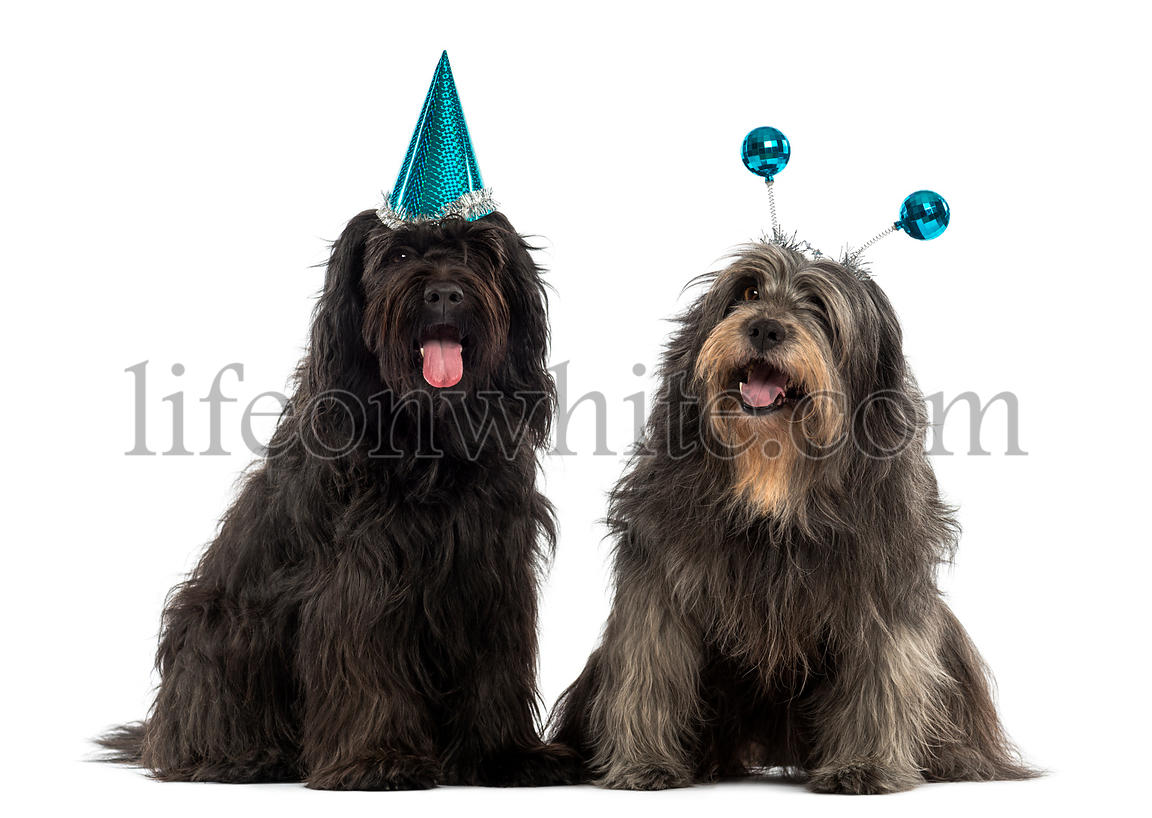 Couple of Catalan sheepdogs wearing party hats, panting, isolated on white