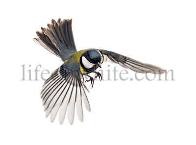 great tit flying - Parus major