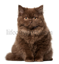British Longhair cat, 18 months old, sitting in front of white background