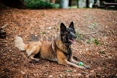 A happy belgian shepherd laying with a ball between her feet