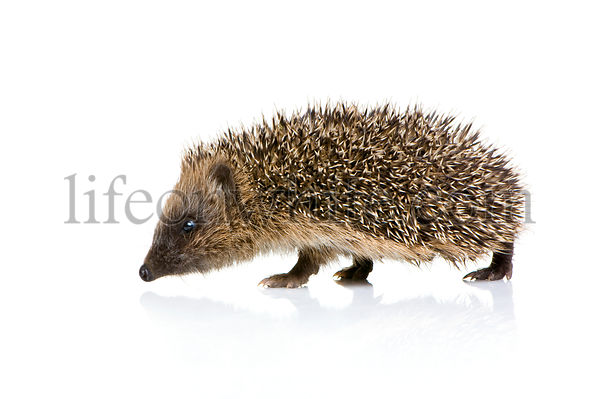 hedgehog (1 mounths)
