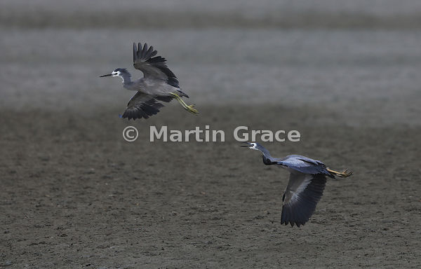 White-Faced Heron (Egretta novaehollandiae) chasing an intruder from what it regards as its territory, Miranda, Firth of Tham...