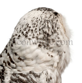 Female Snowy Owl, Bubo scandiacus, 1 year old, close up against white background
